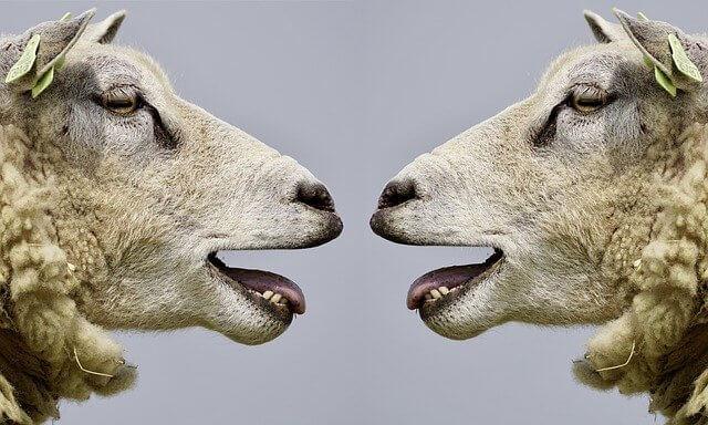 sheep, bleat, communication